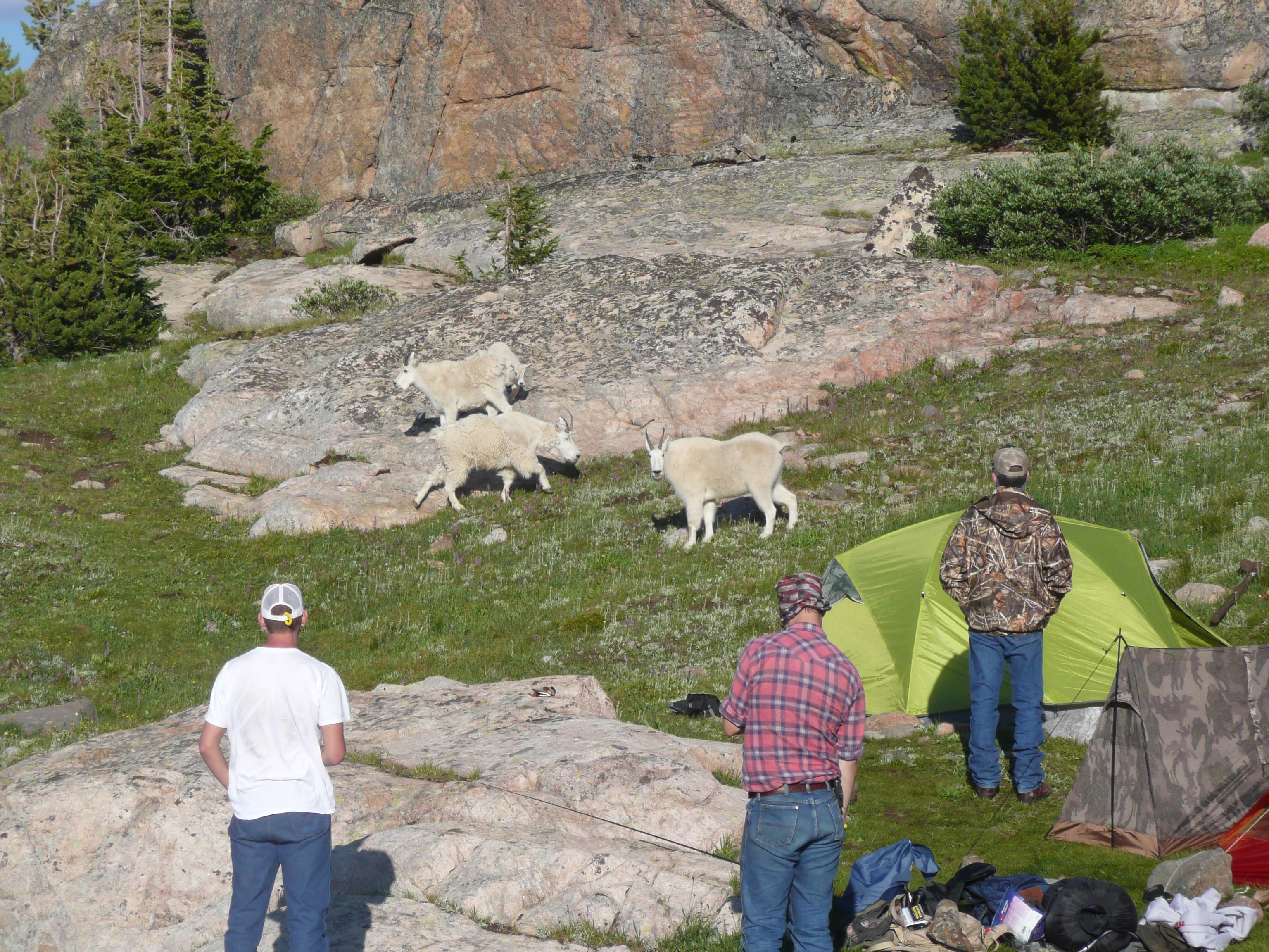 aaa-mountain-goats.jpg